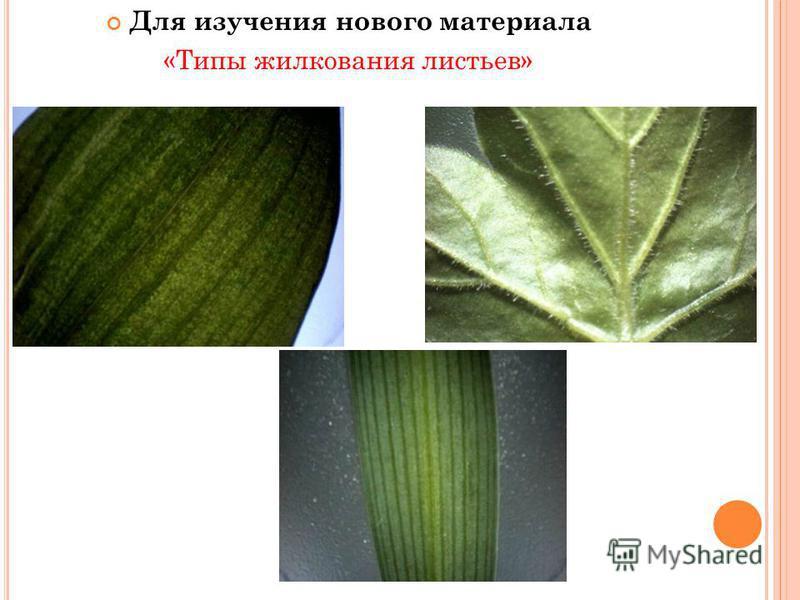 Для изучения нового материала «Типы жилкования листьев»