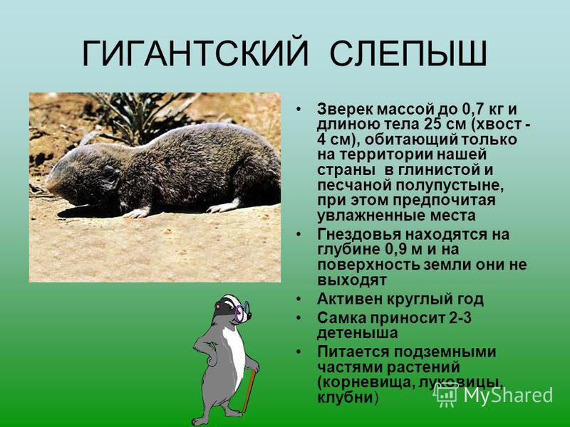 ГИГАНТСКИЙ СЛЕПЫШ Зверек массой до 0,7 кг и длиною тела 25 см (хвост - 4 см), обитающий только на территории нашей страны в глинистой и песчаной полупустыне, при этом предпочитая увлажненные места Гнездовья находятся на глубине 0,9 м и на поверхность