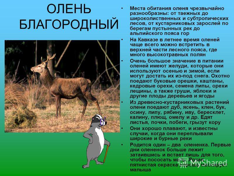 ОЛЕНЬ БЛАГОРОДНЫЙ Места обитания оленя чрезвычайно разнообразны: от таежных до широколиственных и субтропических лесов, от кустарниковых зарослей по берегам пустынных рек до альпийского пояса гор На Кавказе в летнее время оленей чаще всего можно встр