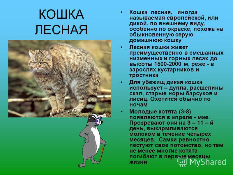 КОШКА ЛЕСНАЯ Кошка лесная, иногда называемая европейской, или дикой, по внешнему виду, особенно по окраске, похожа на обыкновенную серую домашнюю кошку Лесная кошка живет преимущественно в смешанных низменных и горных лесах до высоты 1500-2000 м, реж