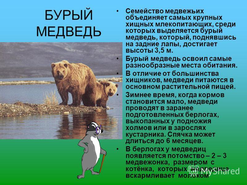 БУРЫЙ МЕДВЕДЬ Семейство медвежьих объединяет самых крупных хищных млекопитающих, среди которых выделяется бурый медведь, который, поднявшись на задние лапы, достигает высоты 3,5 м. Бурый медведь освоил самые разнообразные места обитания. В отличие от