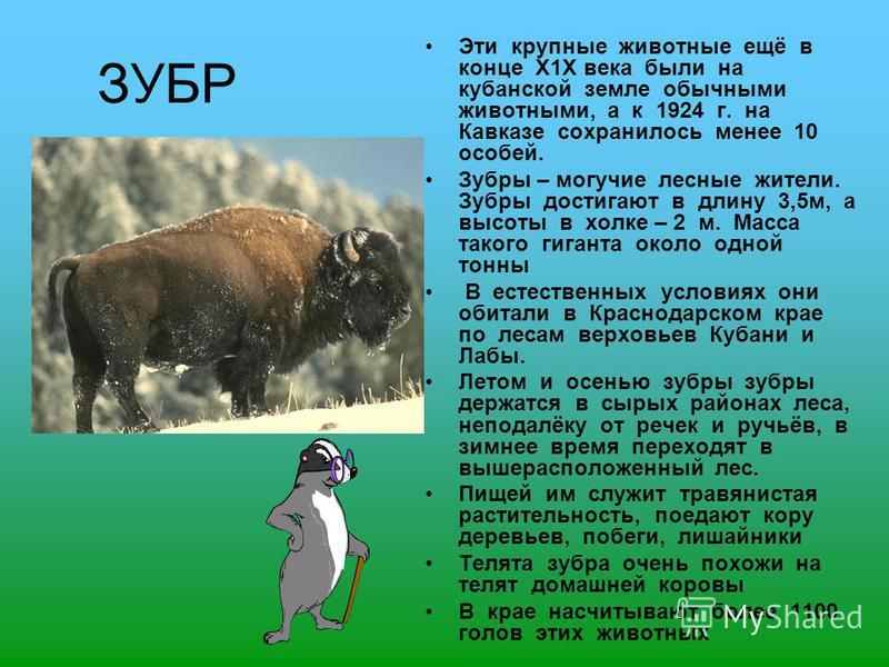 ЗУБР Эти крупные животные ещё в конце Х1Х века были на кубанской земле обычными животными, а к 1924 г. на Кавказе сохранилось менее 10 особей. Зубры – могучие лесные жители. Зубры достигают в длину 3,5 м, а высоты в холке – 2 м. Масса такого гиганта
