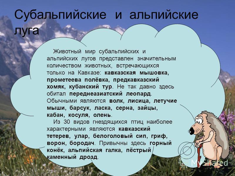 Субальпийские и альпийские луга Животный мир субальпийских и альпийских лугов представлен значительным количеством животных, встречающихся только на Кавказе: кавказская мышовка, прометеева полёвка, предкавказский хомяк, кубанский тур. Не так давно зд