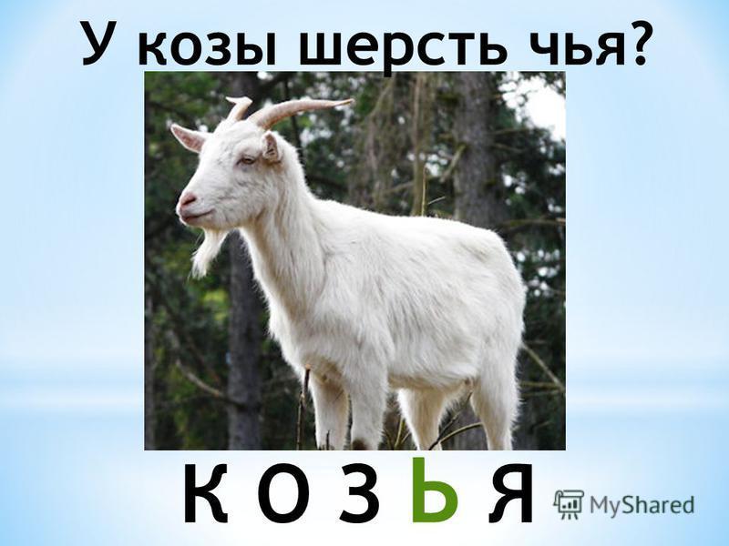 У козы шерсть чья? К О З Ь Я