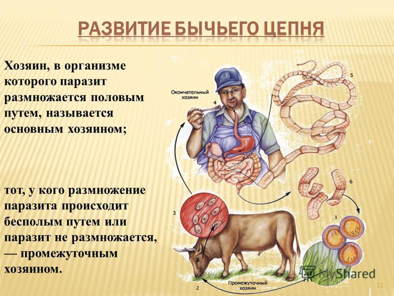 12 Хозяин, в организме которого паразит размножается половым путем, называется основным хозяином; тот, у кого размножение паразита происходит бесполым путем или паразит не размножается, промежуточным хозяином.