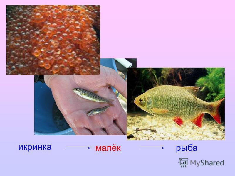 икринка малёк рыба