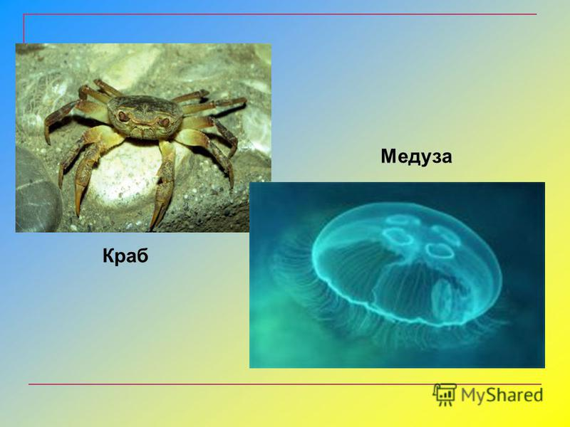 Краб Медуза