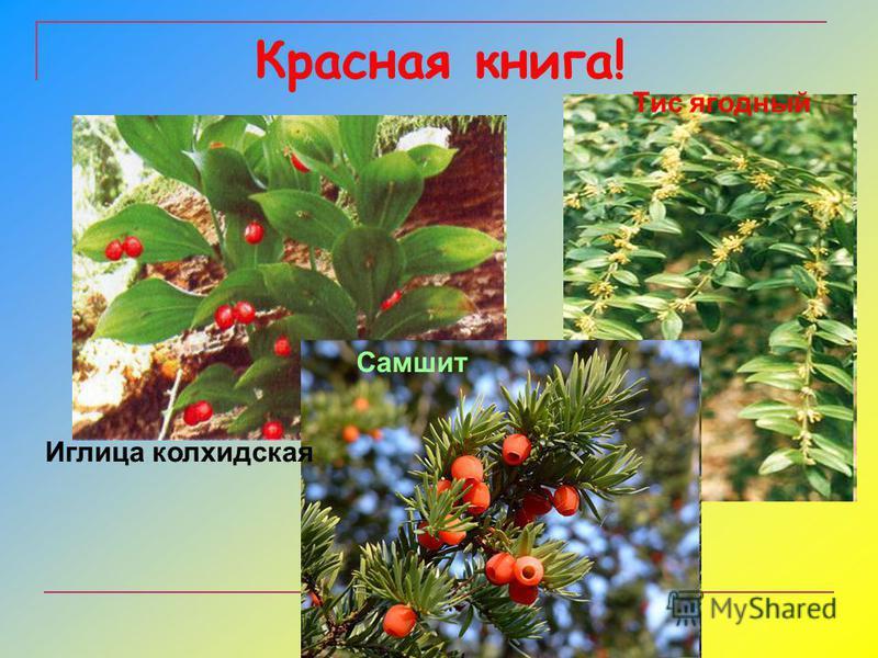 Красная книга! Иглица колхидская Самшит Тис ягодный