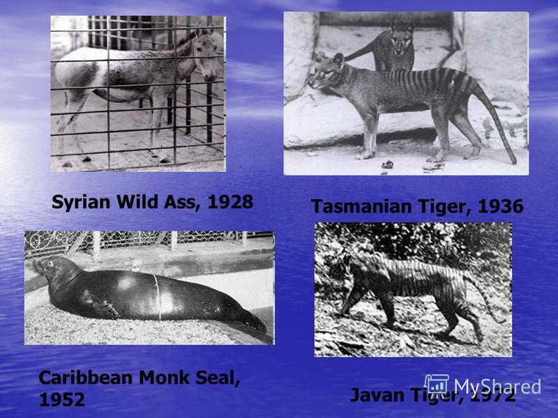 Syrian Wild Ass, 1928 Tasmanian Tiger, 1936 Сaribbean Monk Seal, 1952 Javan Tiger, 1972