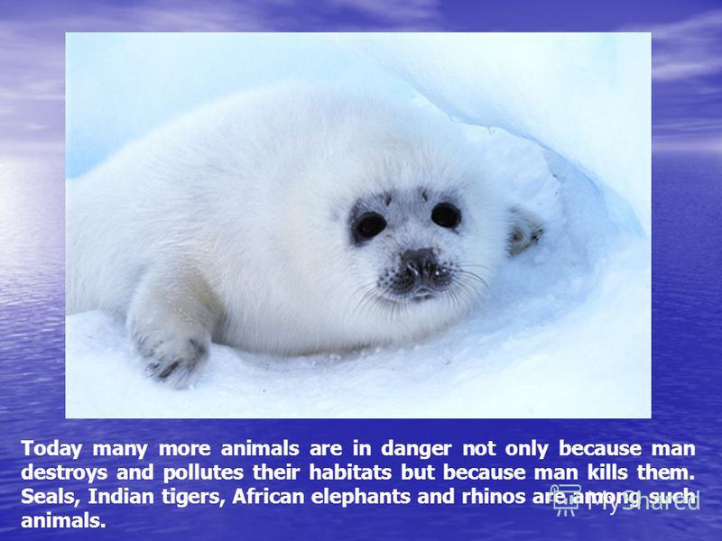 Today many more animals are in danger not only because man destroys and pollutes their habitats but because man kills them. Seals, Indian tigers, African elephants and rhinos are among such animals.