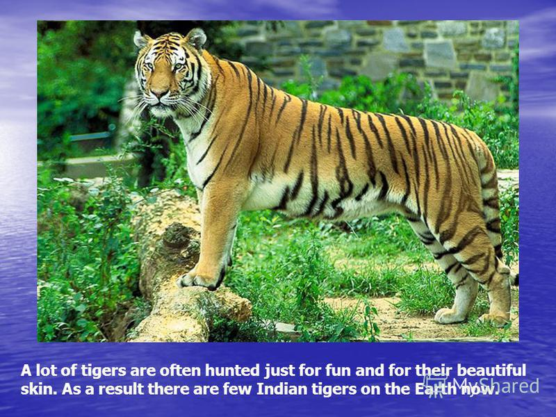 A lot of tigers are often hunted just for fun and for their beautiful skin. As a result there are few Indian tigers on the Earth now.