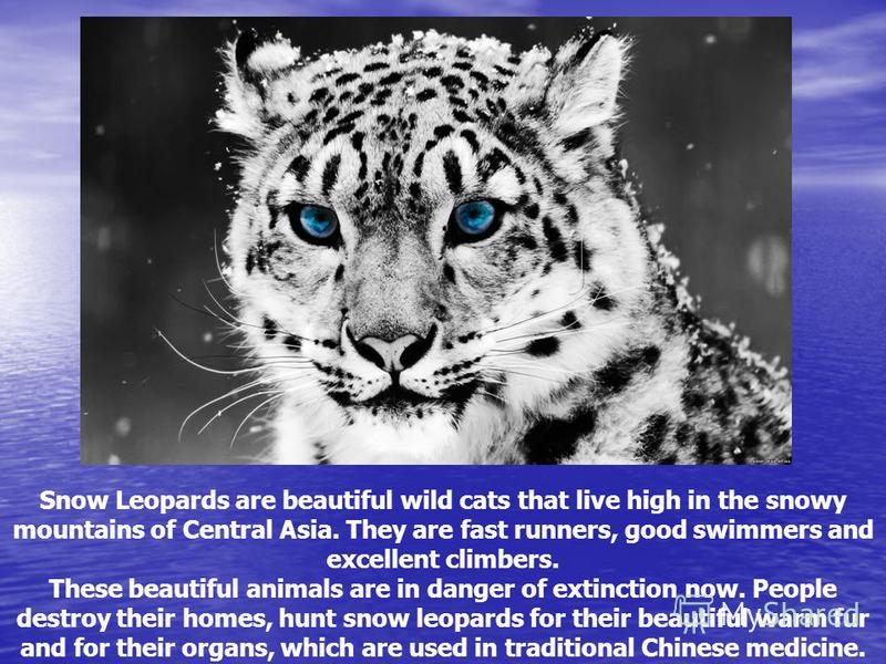Snow Leopards are beautiful wild cats that live high in the snowy mountains of Central Asia. They are fast runners, good swimmers and excellent climbers. These beautiful animals are in danger of extinction now. People destroy their homes, hunt snow l
