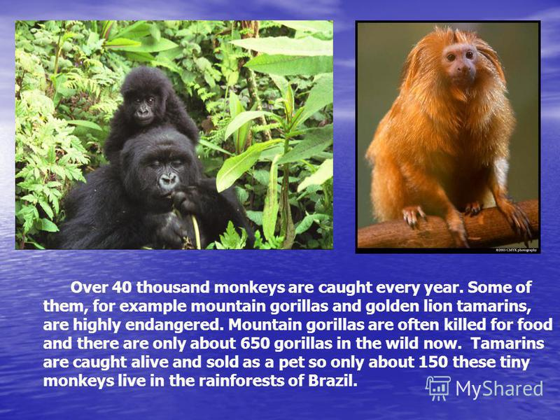 Over 40 thousand monkeys are caught every year. Some of them, for example mountain gorillas and golden lion tamarins, are highly endangered. Mountain gorillas are often killed for food and there are only about 650 gorillas in the wild now. Tamarins a