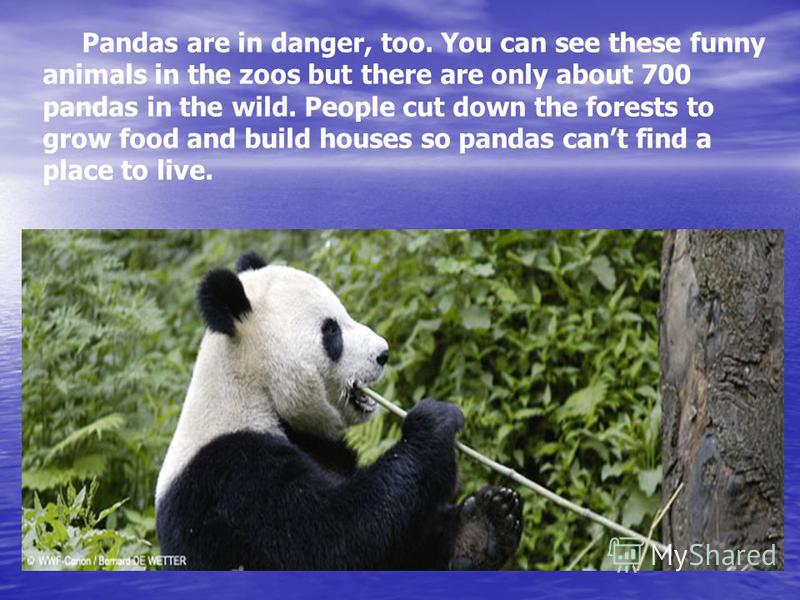 Pandas are in danger, too. You can see these funny animals in the zoos but there are only about 700 pandas in the wild. People cut down the forests to grow food and build houses so pandas cant find a place to live.