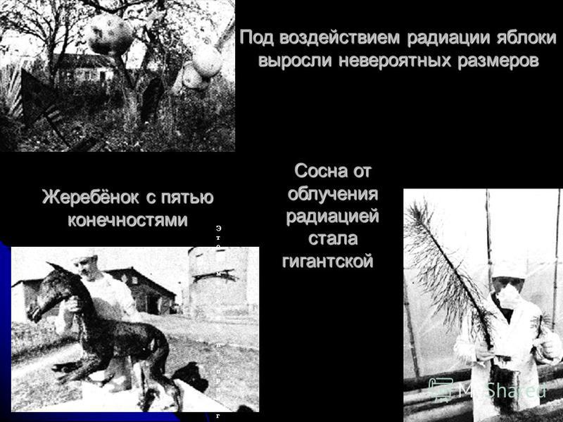Под воздействием радиации яблоки выросли невероятных размеров Жеребёнок с пятью конечностями Сосна от облучения радиацией стала гигантской (слева)Сосна от облучения радиацией стала гигантской (слева) Этот мальчик,из прилегающей к Чернобылю деревни,са