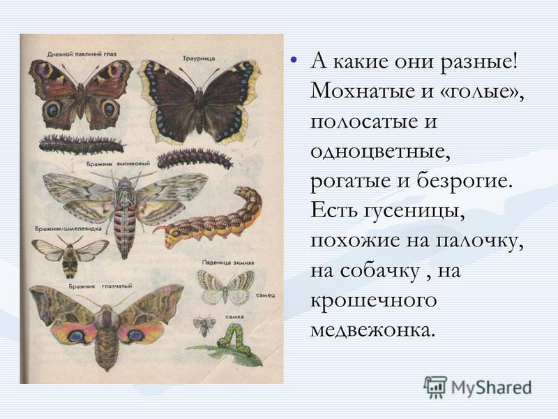А какие они разные! Мохнатые и «голые», полосатые и одноцветные, рогатые и безрогие. Есть гусеницы, похожие на палочку, на собачку, на крошечного медвежонка.