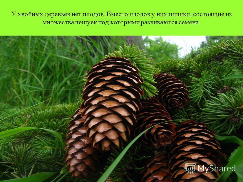 У хвойных деревьев нет плодов. Вместо плодов у них шишки, состоящие из множества чешуек под которыми развиваются семена.