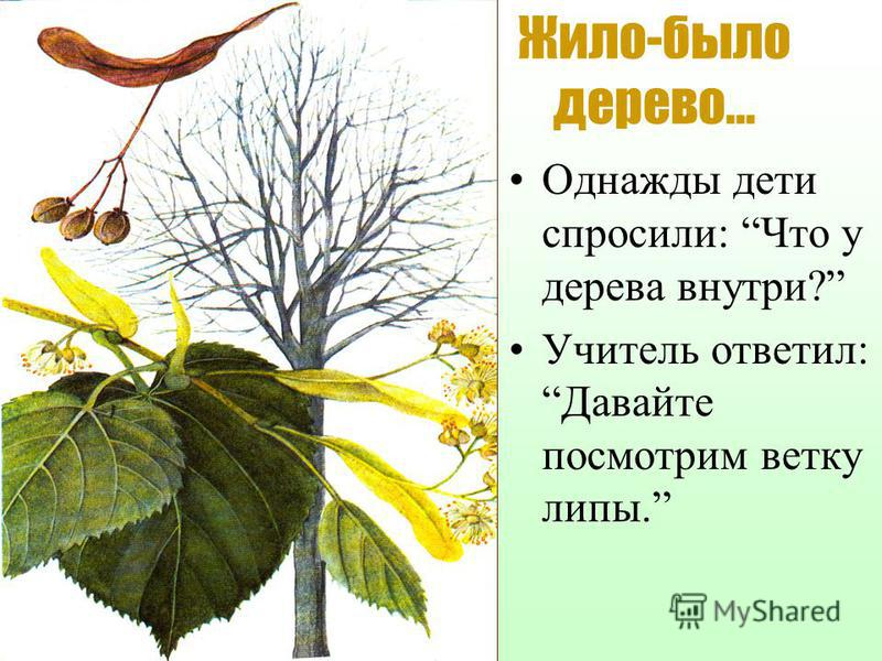 Жило-было дерево… Однажды дети спросили: Что у дерева внутри? Учитель ответил:Давайте посмотрим ветку липы.