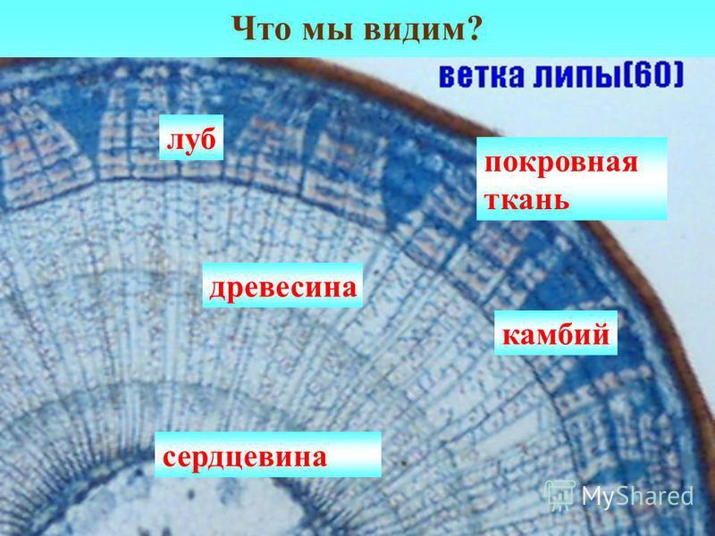 Что мы видим? покровная ткань луб древесина сердцевина камбий