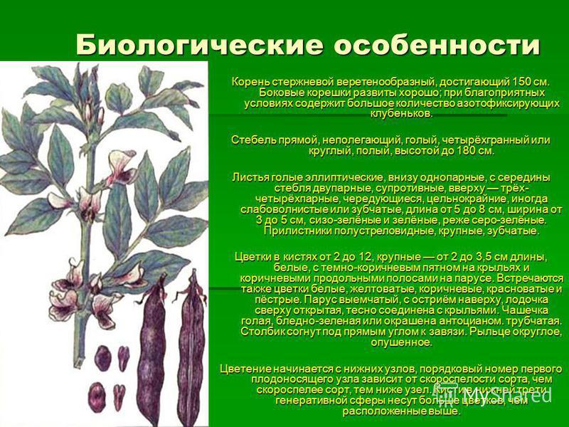 Биологические особенности Корень стержневой веретенообразный, достигающий 150 см. Боковые корешки развиты хорошо; при благоприятных условиях содержит большое количество азотофиксирующих клубеньков. Стебель прямой, неполегающий, голый, четырёхгранный
