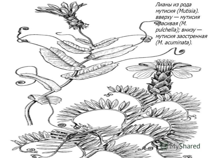 Лианы из рода мутисия (Mutisia). вверху мутисия красивая (М. pulchella); внизу мутисия заостренная (М. acuminata).