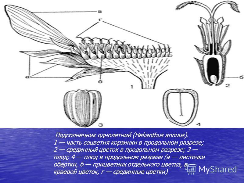 Подсолнечник однолетний (Helianthus annuus). 1 часть соцветия корзинки в продольном разрезе; 2 срединный цветок в продольном разрезе; 3 плод; 4 плод в продольном разрезе (а листочки обертки, б прицветник отдельного цветка, в краевой цветок, г срединн