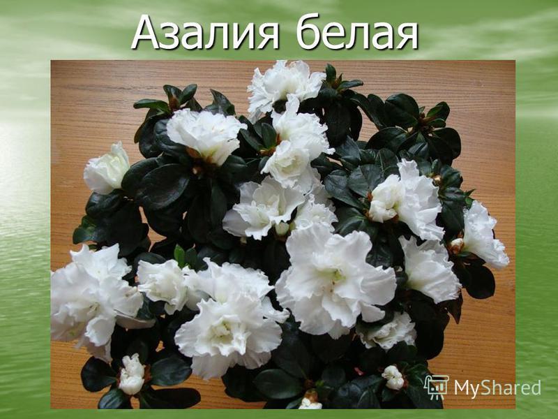 Азалия белая