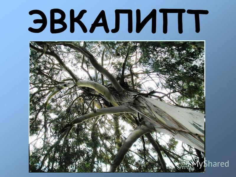 ЭВКАЛИПТ