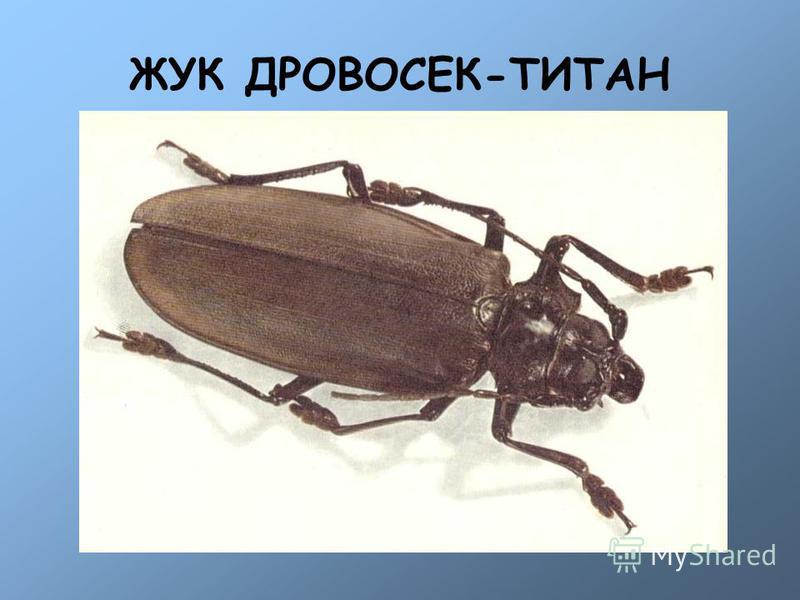 ЖУК ДРОВОСЕК-ТИТАН