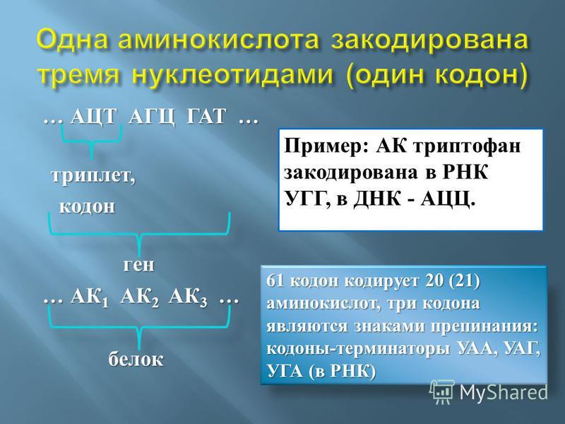 … АЦТ АГЦ ГАТ … … АЦТ АГЦ ГАТ … триплет, триплет, кодон кодон ген ген … АК 1 АК 2 АК 3 … белок белок Пример: АК триптофан закодирована в РНК УГГ, в ДНК - АЦЦ. 61 кодон кодирует 20 (21) аминокислот, три кодона являются знаками препинания: кодоны-терми