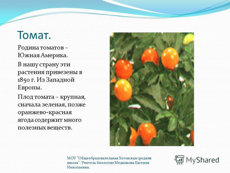 Томат. Родина томатов – Южная Америка. В нашу страну эти растения привезены в 1850 г. Из Западной Европы. Плод томата – крупная, сначала зеленая, позже оранжево-красная ягода содержит много полезных веществ. МОУ