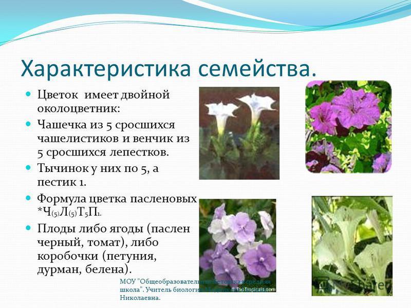 Характеристика семейства. Цветок имеет двойной околоцветник: Чашечка из 5 сросшихся чашелистиков и венчик из 5 сросшихся лепестков. Тычинок у них по 5, а пестик 1. Формула цветка пасленовых *Ч (5 ) Л (5) Т 5 П 1. Плоды либо ягоды (паслен черный, тома
