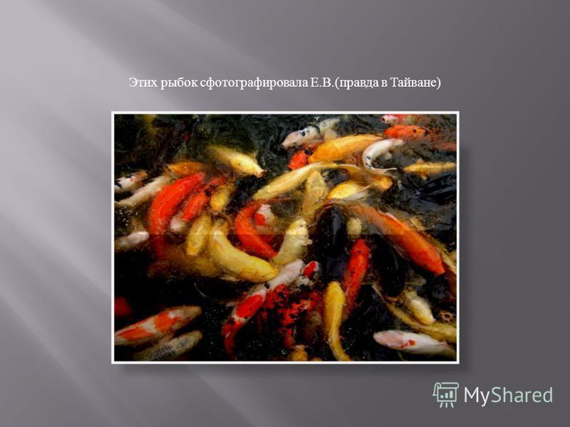 Этих рыбок сфотографировала Е. В.( правда в Тайване )