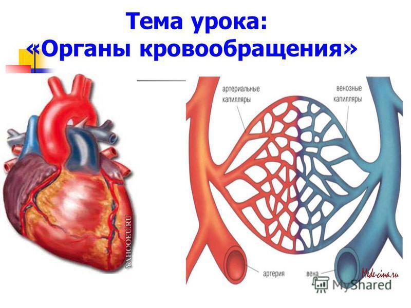 Тема урока: «Органы кровообращения»