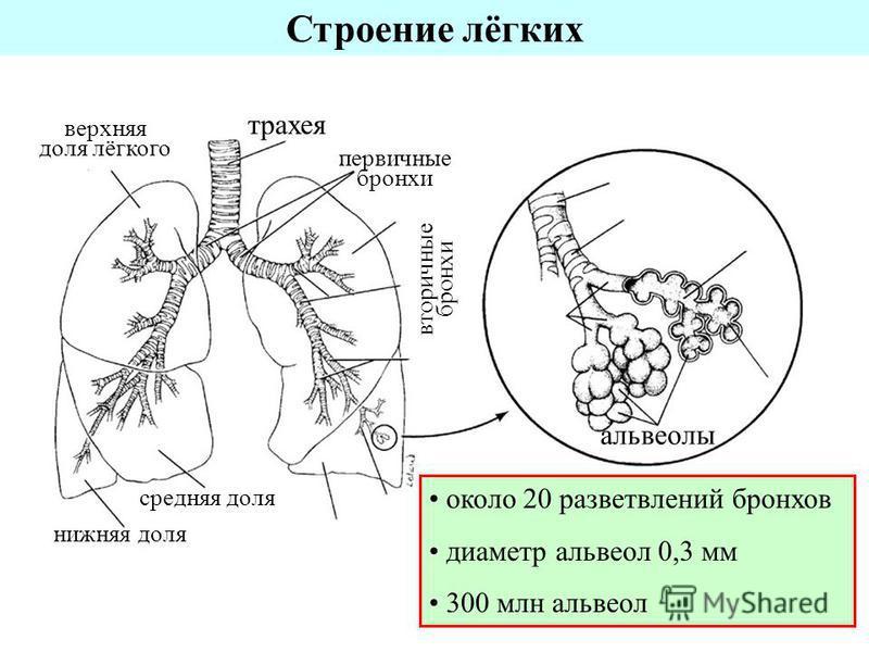 трахея первичные бронхи верхняя доля лёгкого нижняя доля средняя доля вторичные бронхи альвеолы около 20 разветвлений бронхов диаметр альвеол 0,3 мм 300 млн альвеол