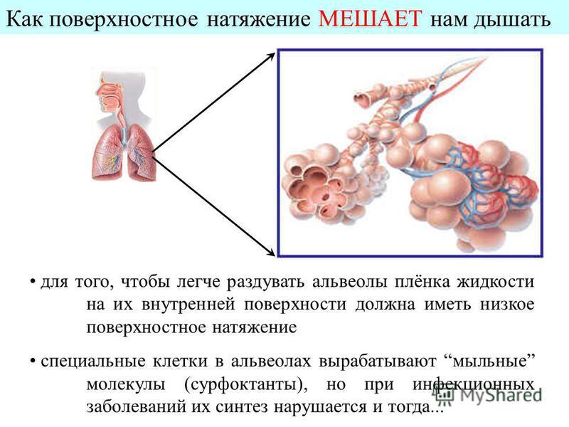 Как поверхностное натяжение МЕШАЕТ нам дышать для того, чтобы легче раздувать альвеолы плёнка жидкости на их внутренней поверхности должна иметь низкое поверхностное натяжение специальные клетки в альвеолах вырабатывают мыльные молекулы (сурфактанты)