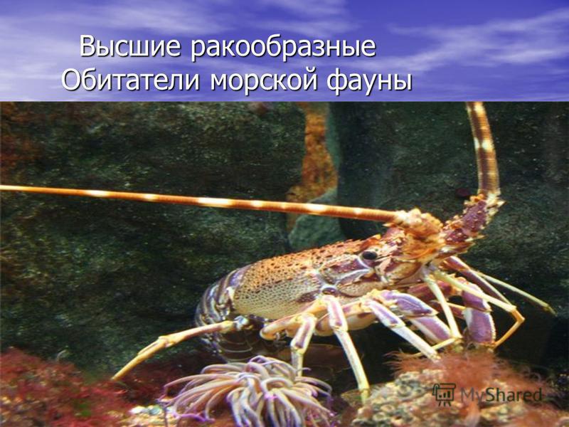 Высшие ракообразные Обитатели морской фауны Высшие ракообразные Обитатели морской фауны