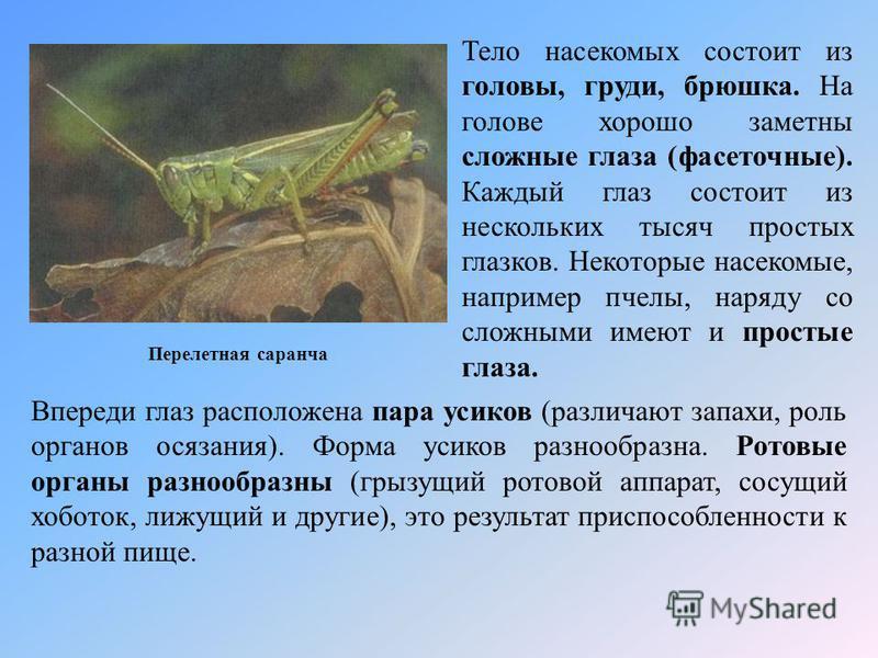 Перелетная саранча Тело насекомых состоит из головы, груди, брюшка. На голове хорошо заметны сложные глаза (фасеточные). Каждый глаз состоит из нескольких тысяч простых глазков. Некоторые насекомые, например пчелы, наряду со сложными имеют и простые