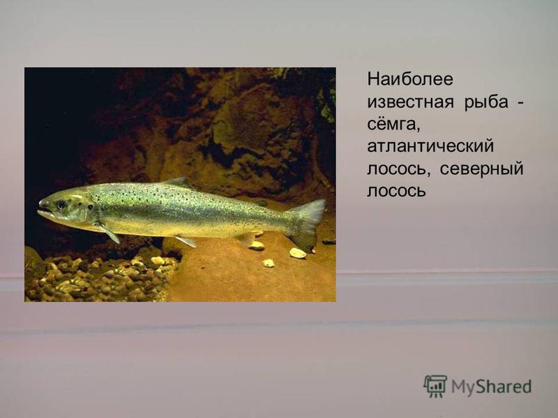 Наиболее известная рыба - сёмга, атлантический лосось, северный лосось