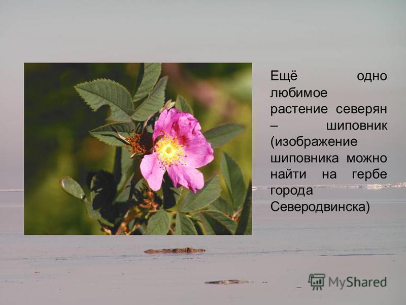 Ещё одно любимое растение северян – шиповник (изображение шиповника можно найти на гербе города Северодвинска)