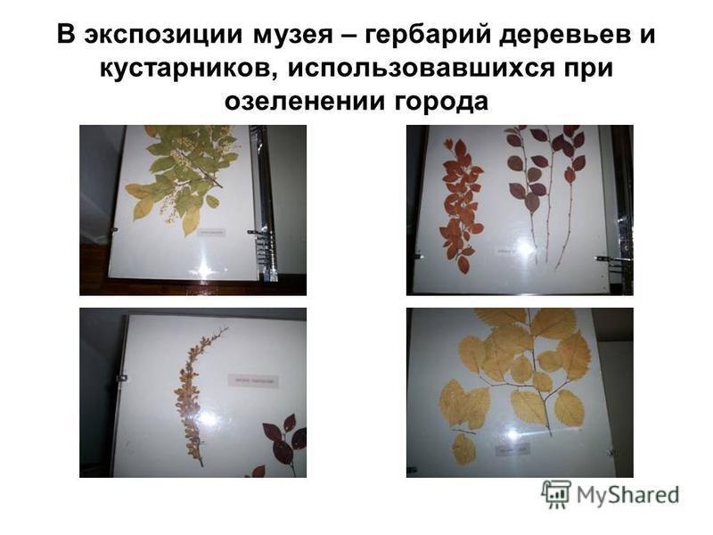 В экспозиции музея – гербарий деревьев и кустарников, использовавшихся при озеленении города