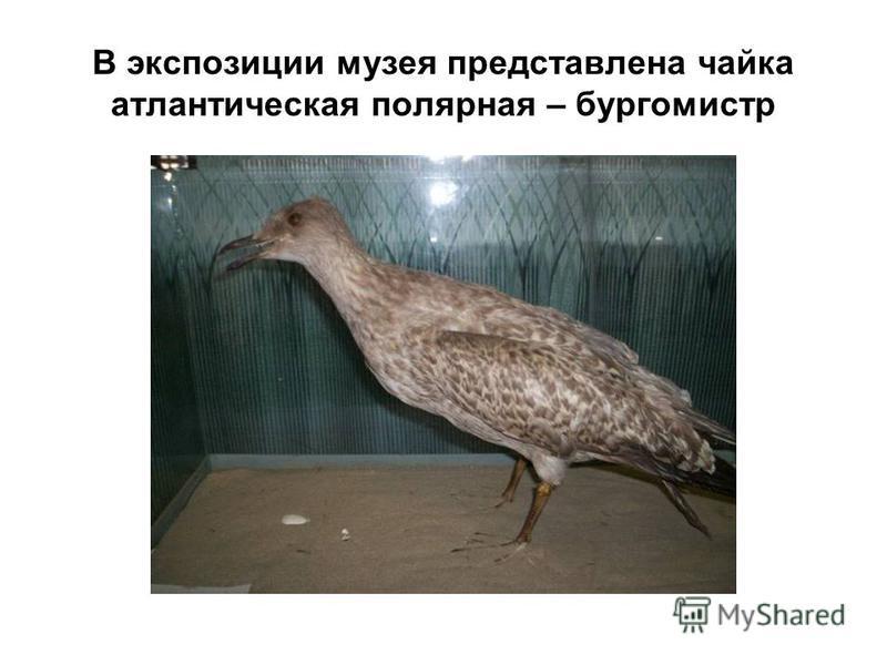 В экспозиции музея представлена чайка атлантическая полярная – бургомистр