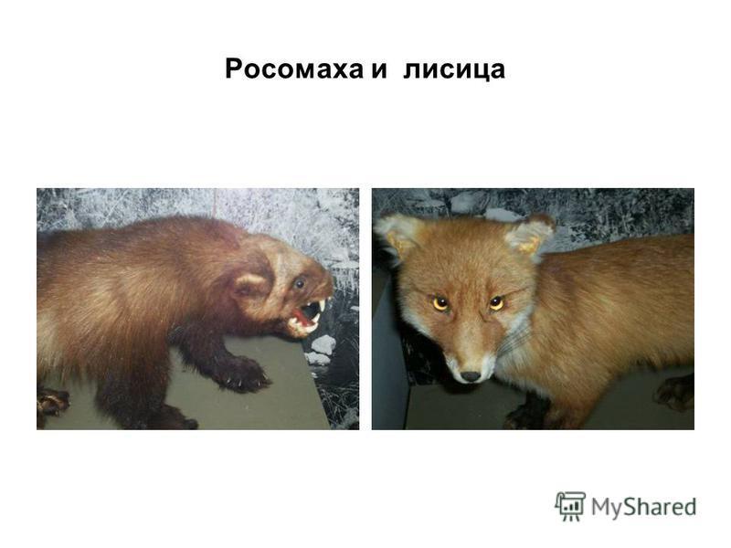 Росомаха и лисица
