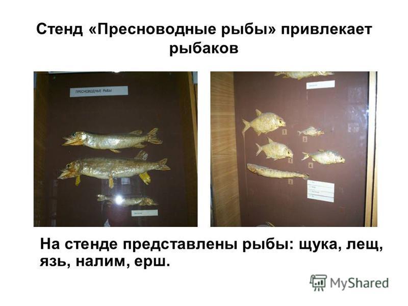 Стенд «Пресноводные рыбы» привлекает рыбаков На стенде представлены рыбы: щука, лещ, язь, налим, ерш.