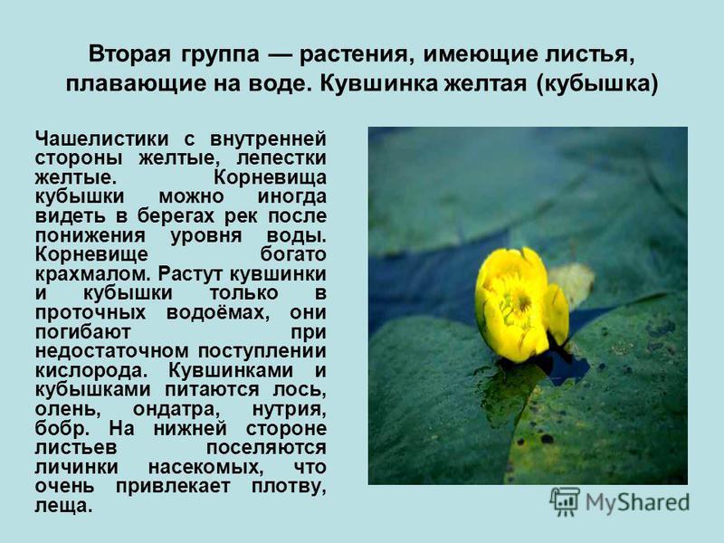 Вторая группа растения, имеющие листья, плавающие на воде. Кувшинка желтая (кубышка) Чашелистики с внутренней стороны желтые, лепестки желтые. Корневища кубышки можно иногда видеть в берегах рек после понижения уровня воды. Корневище богато крахмалом