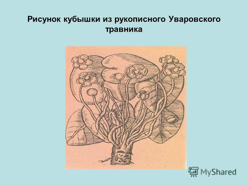 Рисунок кубышки из рукописного Уваровского травника