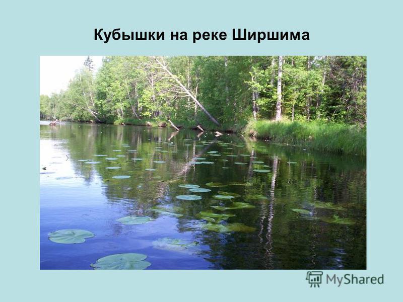 Кубышки на реке Ширшима