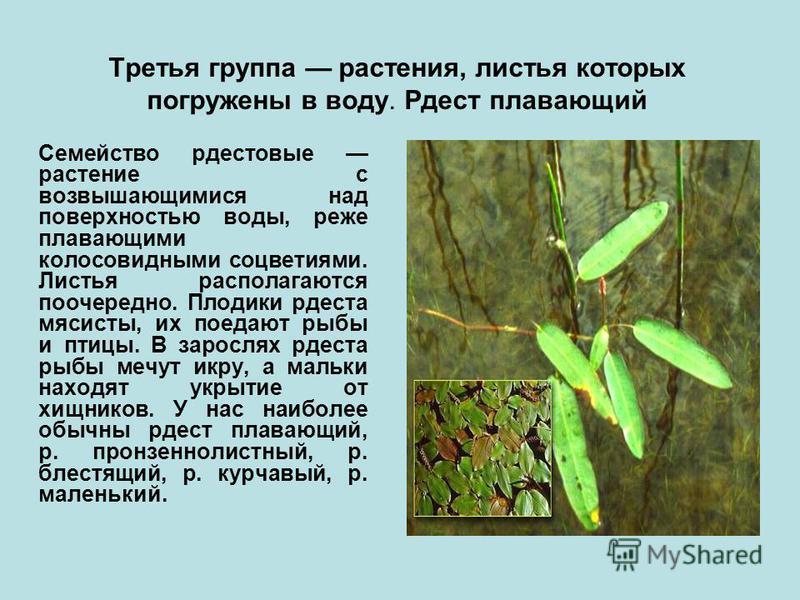 Третья группа растения, листья которых погружены в воду. Рдест плавающий Семейство рдестовые растение с возвышающимися над поверхностью воды, реже плавающими колосовидными соцветиями. Листья располагаются поочередно. Плодики рдеста мясисты, их поедаю