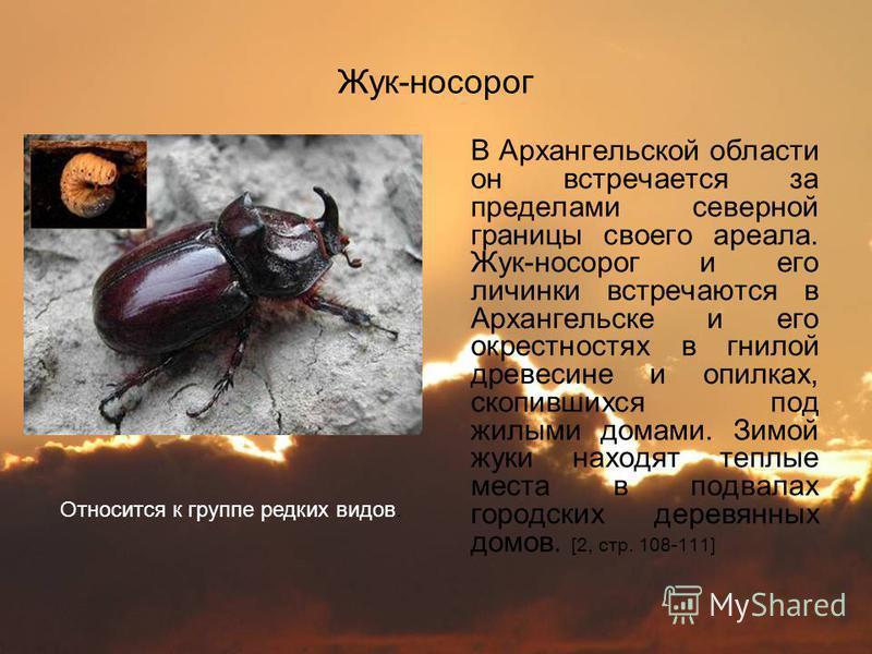 Жук-носорог В Архангельской области он встречается за пределами северной границы своего ареала. Жук-носорог и его личинки встречаются в Архангельске и его окрестностях в гнилой древесине и опилках, скопившихся под жилыми домами. Зимой жуки находят те