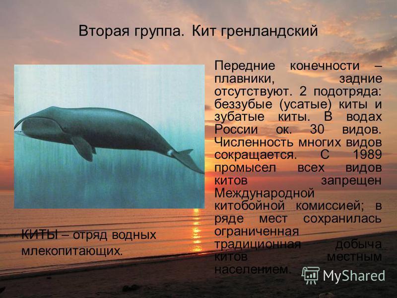 Вторая группа. Кит гренландский Передние конечности – плавники, задние отсутствуют. 2 подотряда: беззубые (усатые) киты и зубатые киты. В водах России ок. 30 видов. Численность многих видов сокращается. С 1989 промысел всех видов китов запрещен Между